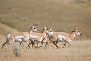 antelope-trevor1